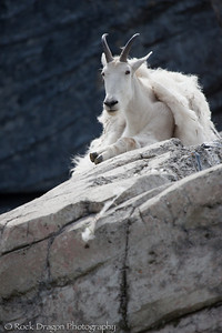 A Mountain Goat at the Zoo.
