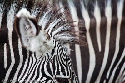 Grevy's Zebra's at the Zoo.