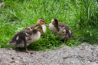 Some Ducklings at the Calgary Zoo.