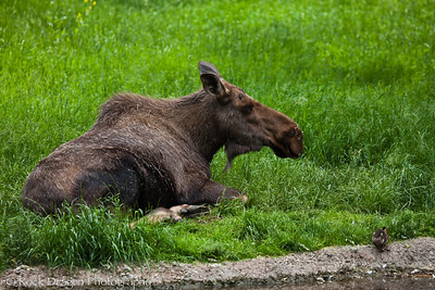 A Moose at the Calgary Zoo.