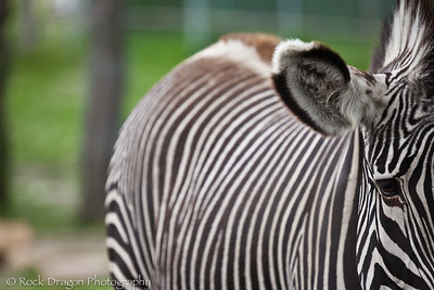A Grevy's Zebra at the Calgary Zoo.