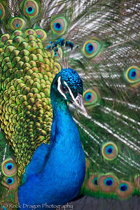 Peacock, Calgary Zoo