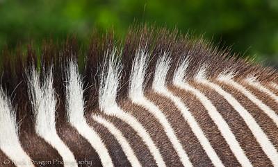 Grevy's Zebra, Calgary Zoo