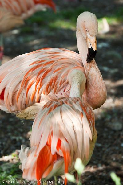 Flamingos, Calgary Zoo