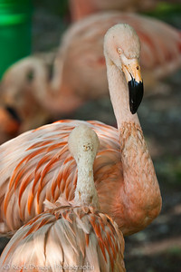 Flamingos, Calgary Zoo