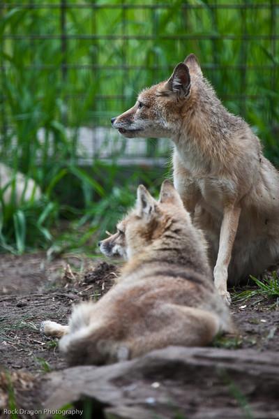 Swift Foxes, Calgary Zoo