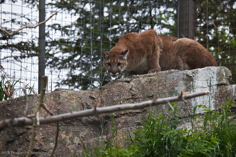 Cougar, Calgary Zoo