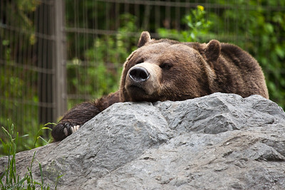 Grizzly Bear, Calgary Zoo
