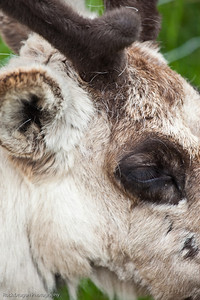 Caribou, Calgary Zoo