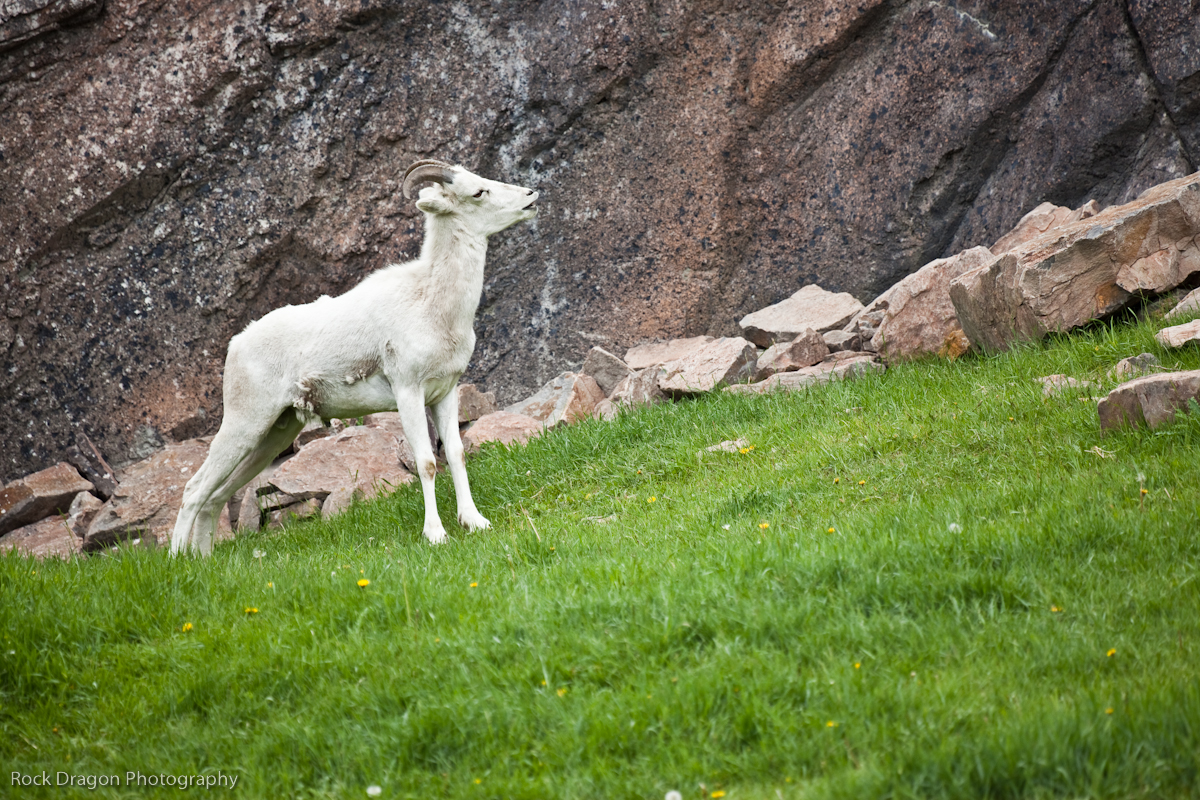 Mountain Goat, Calgary Zoo