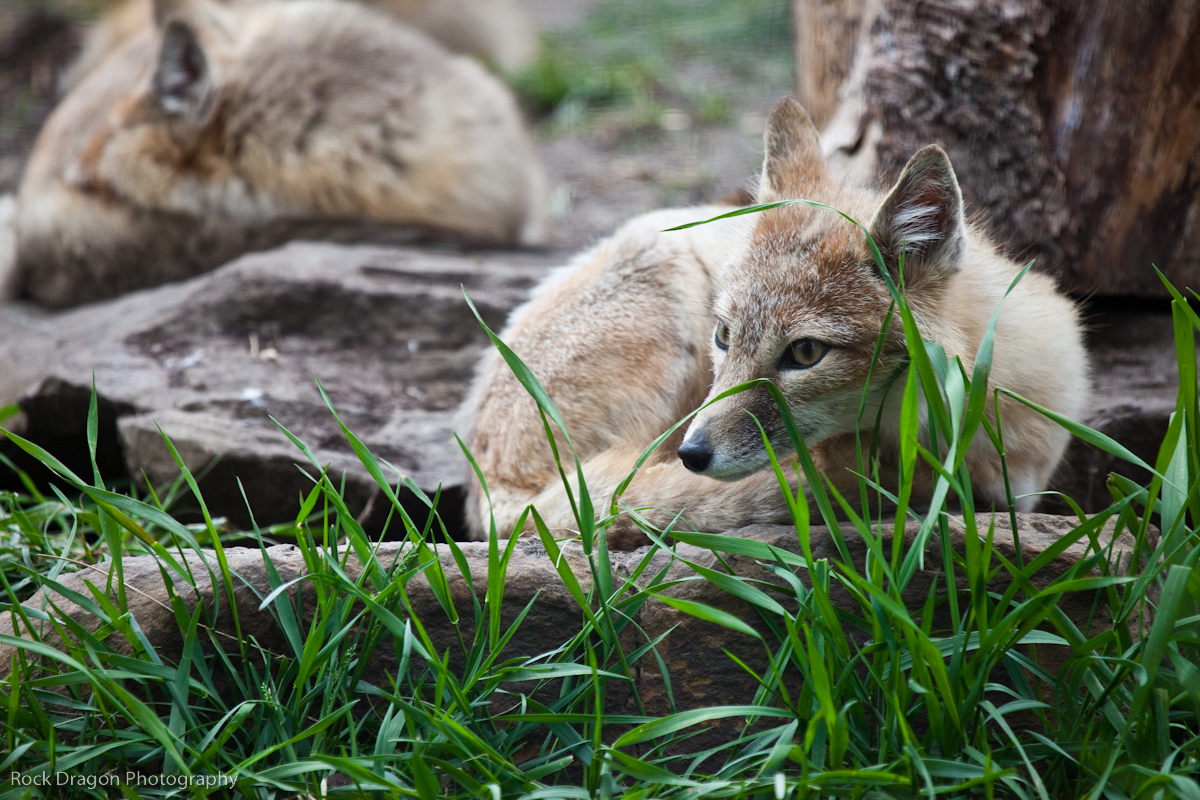 Swift Foxes, Calgary Zoo