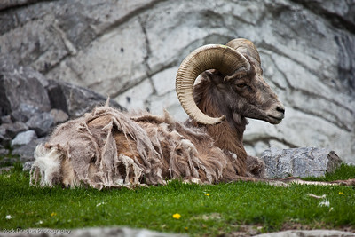 Big Horn Sheep, Calgary Zoo