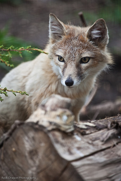 Swift Fox, Calgary Zoo