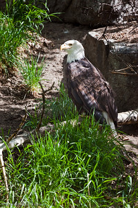 Bald Eagle, Calgary Zoo