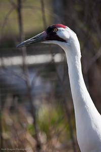 Whooping Crane, Calgary Zoo
