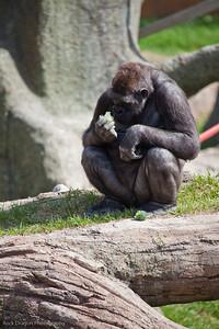 Gorilla, Calgary Zoo