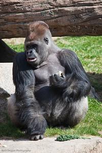 Silverback Gorilla,Calgary Zoo