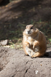 Prairie Dog, Calgary Zoo