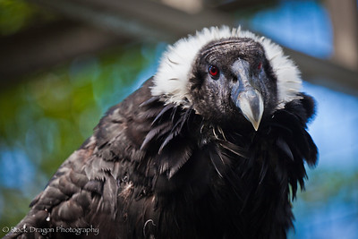 An Andean Condor at the Calgary Zoo.