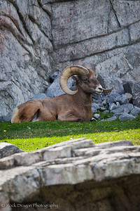 A Big Horn Sheep at the Calgary Zoo.