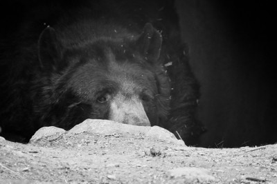 A Black Bear at the Calgary Zoo.