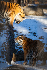 Two tiger cubs at the Calgary Zoo.