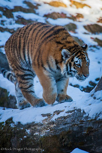 A tiger cub at the Calgary Zoo.