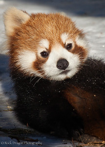 A red panda cub at the Calgary Zoo.