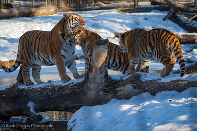 A tiger and her cubs at the Calgary Zoo.