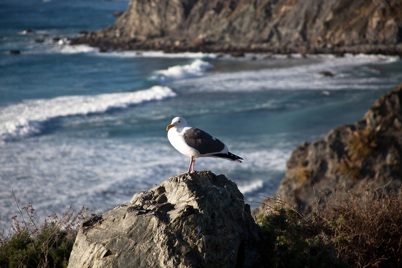 Sea Gull Overlooking the  Coast