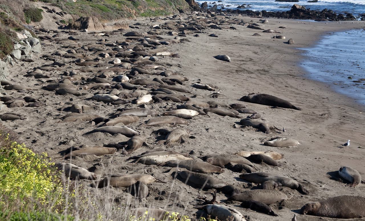 Elephant Seals Lounging