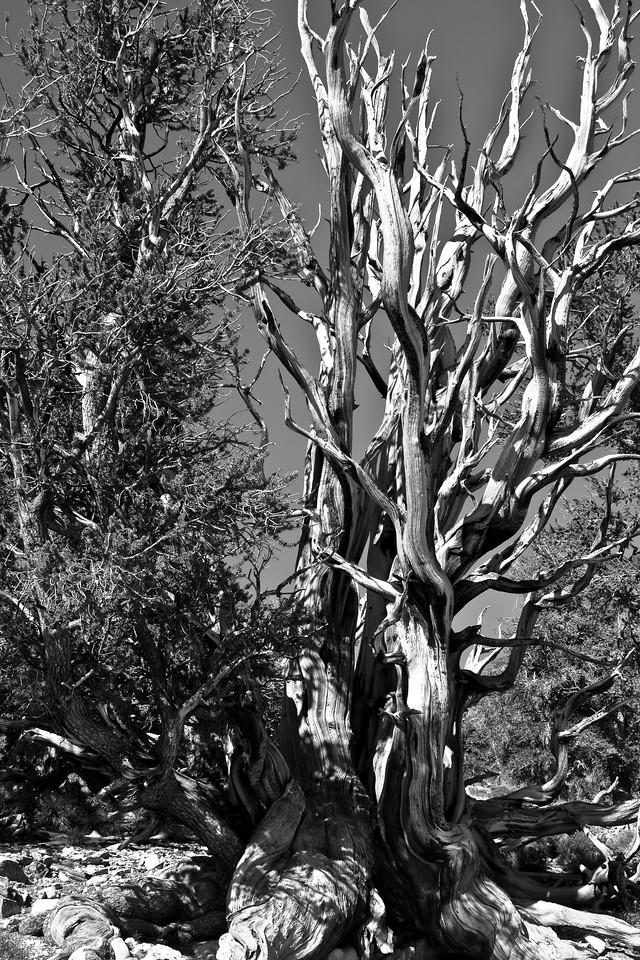 Colorless Bristlecone