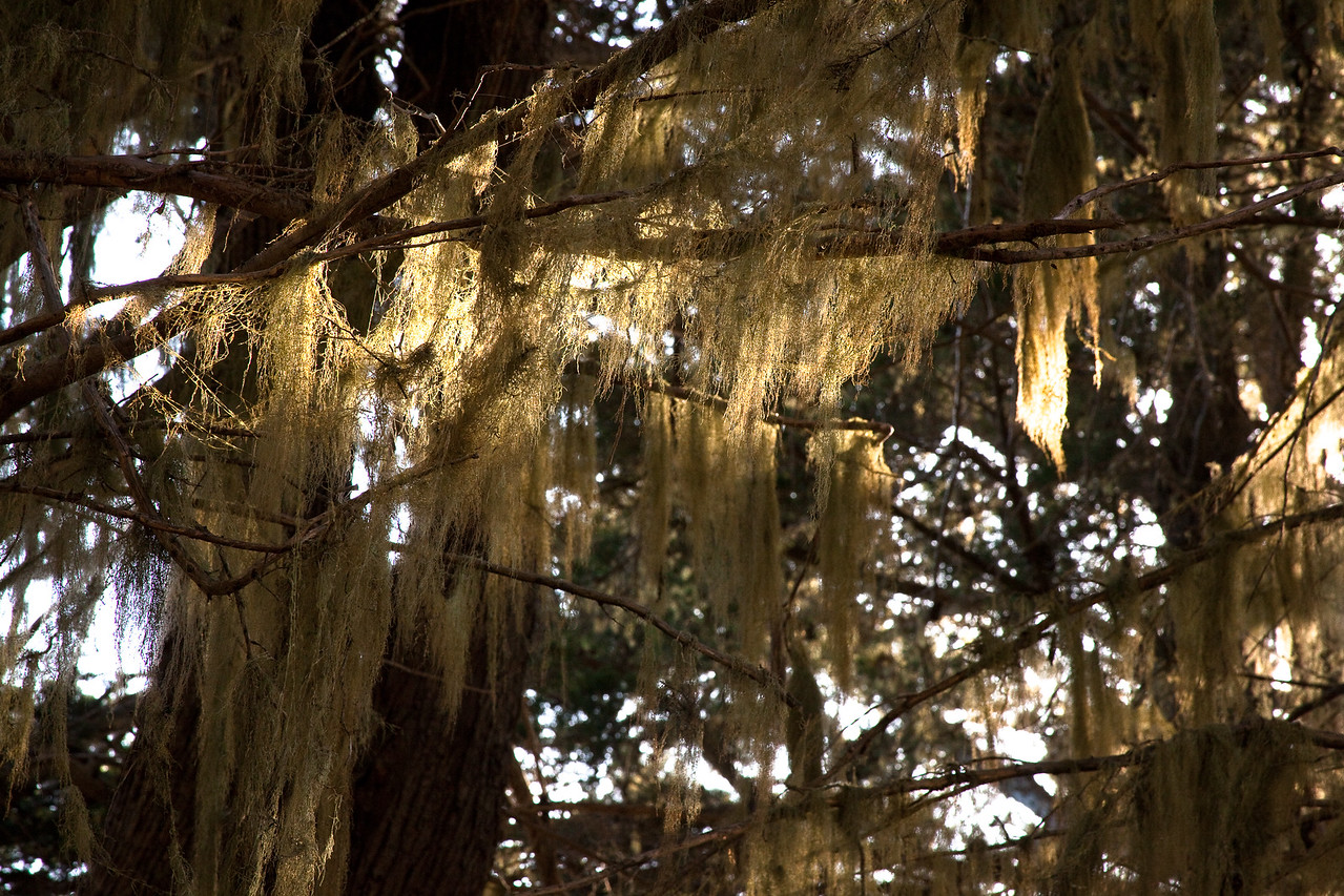 Illuminated Spanish Moss