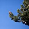 Red Shouldered Hawk Looking Down