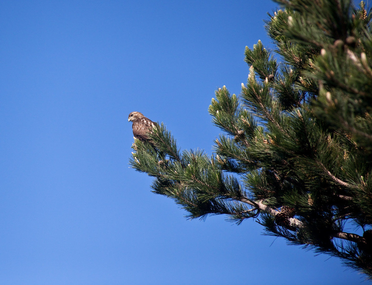 Red Shouldered Hawk Looking Down