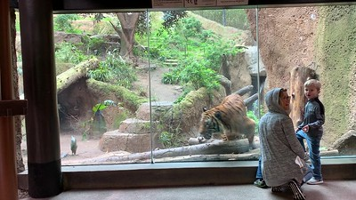 Sumatran Tiger behind glass