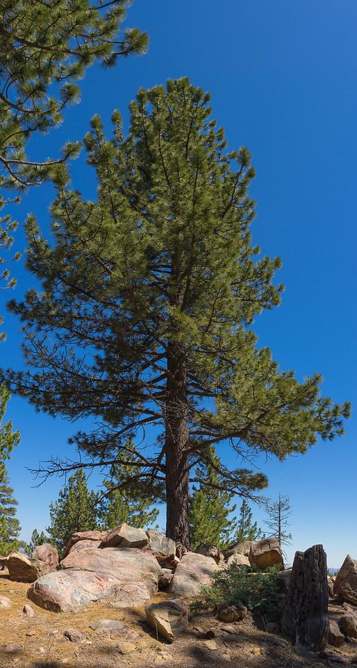 Pine Above Boulder Mound