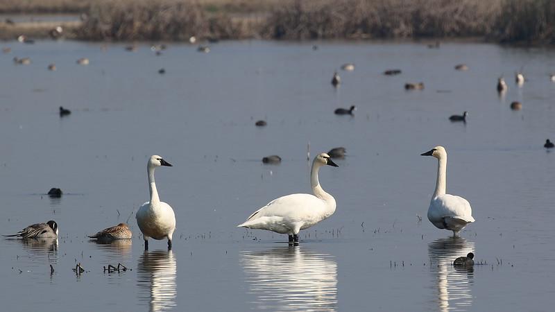 Tundra Swans at Merced NWR 1