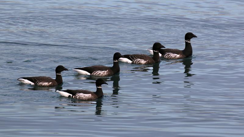 Black Brant at Bodega Bay