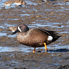 Blue-winged Teal male