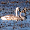 Trumpeter Swan family in Butte County