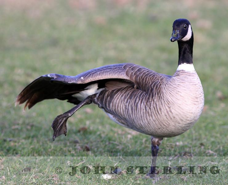 Aleutian Cackling Goose; Benicia, Solano County