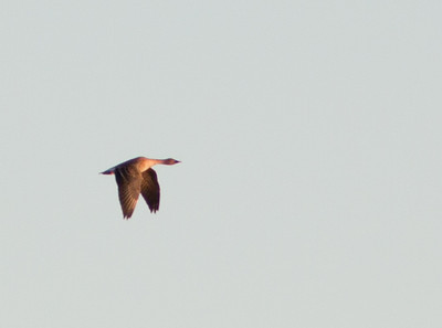 Bean Goose, Salton Sea NWR; November 2010