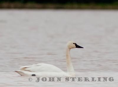 Tundra Swan in Yuba County