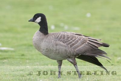 Cackling Goose; Crespi Pond, Monterey County