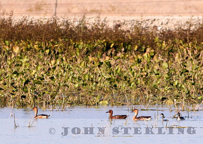 2 Fulvous Whistling-Ducks at Dead Pig Pond in Tulare County