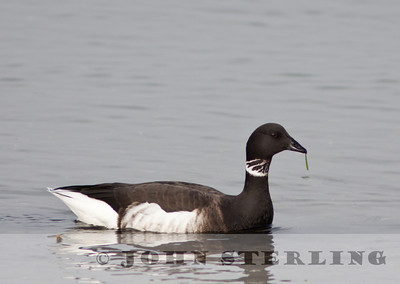 Brant, Mission Bay, San Diego