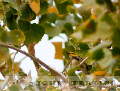 Black-throated Green Warbler wintering in Brawley, Imperial County
