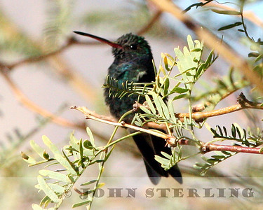 Sterling's Rare California Birds