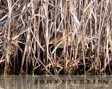 Least Bittern; Feb. 2011 in Martinez, Contra Costa County